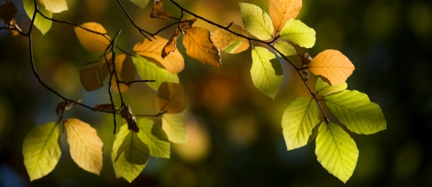 Autumn beech leaves - Fran Halsall