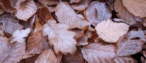 Oak among beech - Fran Halsall