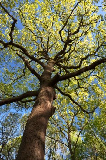 """""""Oak in spring"""