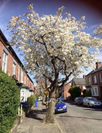 """Cherry on Wath Road"
