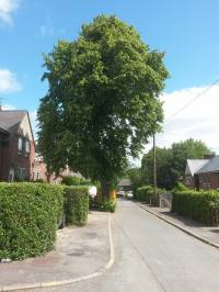 """Lime Tree, Aldfield Way"